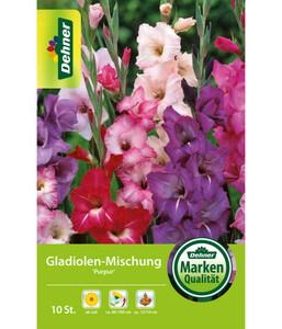 Dehner Blumenzwiebel Gladiolen-Mischung 'Purpur'