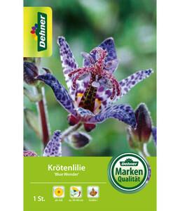 Dehner Blumenzwiebel Krötenlilie 'Blue Wonder'