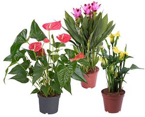 GARDENLINE®  Exotische Blühpflanze