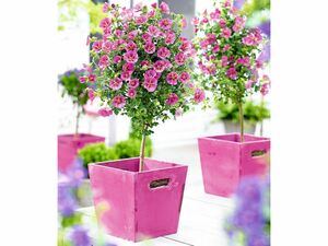 Kapmalven-Stämmchen Elegans,1 Pflanze