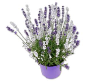 Lavendel Duo