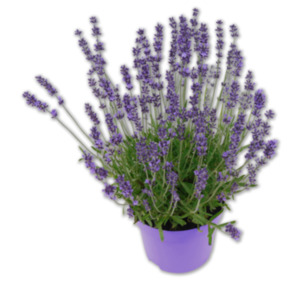"Lavendel ""Blue Scent"""