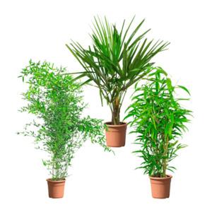 GARDEN FEELINGS     Palme / Bambus