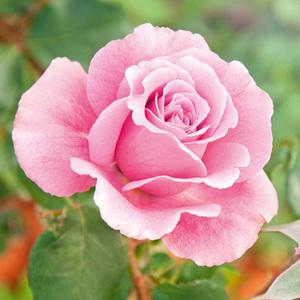 Finest Garden Freiland Rose