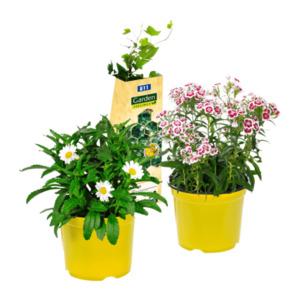 GARDEN FEELINGS     Bienenfreundliche Pflanze