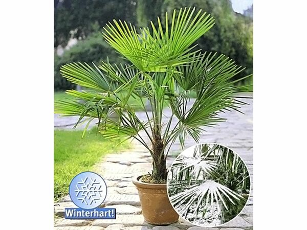 winterharte k bel palme 1 pflanze trachycarpus fortunei. Black Bedroom Furniture Sets. Home Design Ideas
