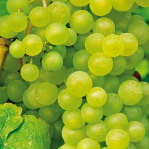 Veredelte Weinreben