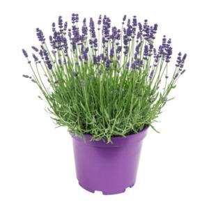 GARDEN FEELINGS     Lavendel XXL (Lavandula angustifolia)
