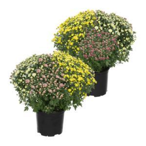 GARDEN FEELINGS     Chrysanthemenbusch-Trio