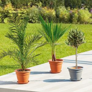 Große Terrassenpflanze