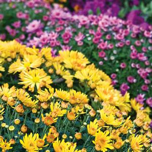 Garten-Chrysanthemen