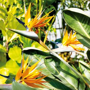 "Paradiesvogelblume ""Strelitzia"""