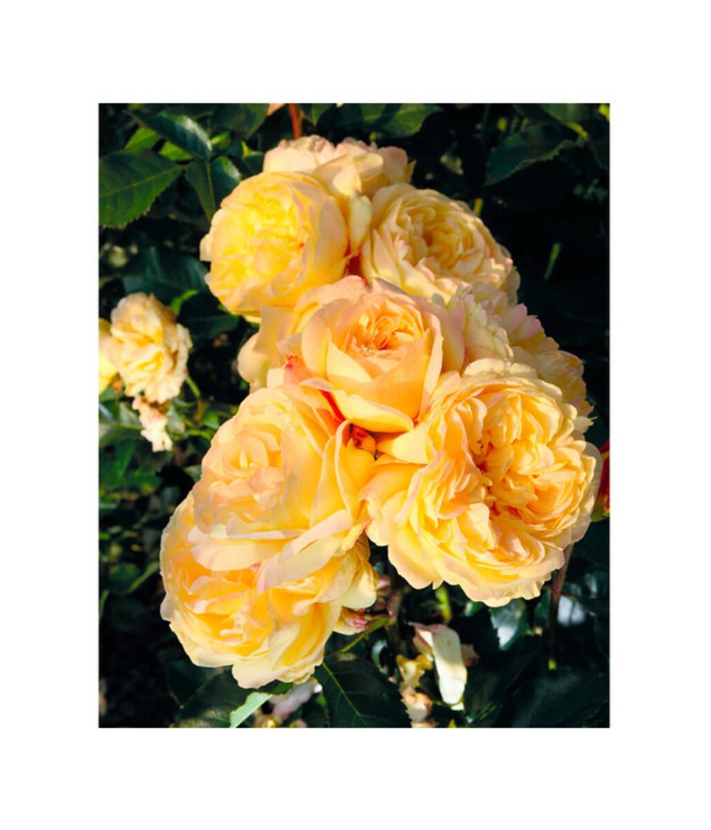 Bild 1 von Beetrose 'Romantische Straße®'