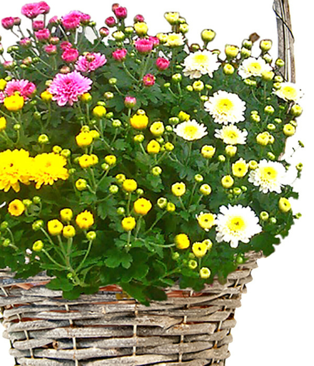 Bild 2 von Henkelkorb mit Chrysanthemen-Trio