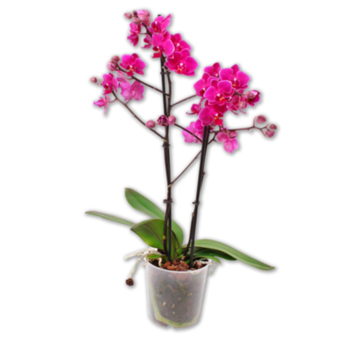 Bild 1 von Schmetterlingsorchidee