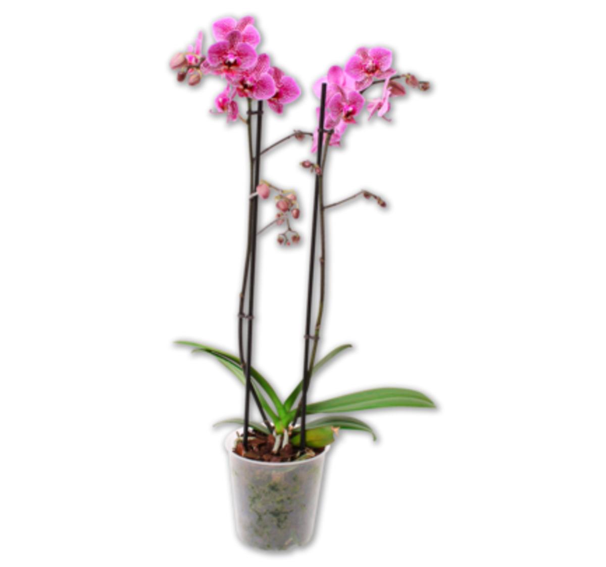 Bild 2 von Schmetterlingsorchidee