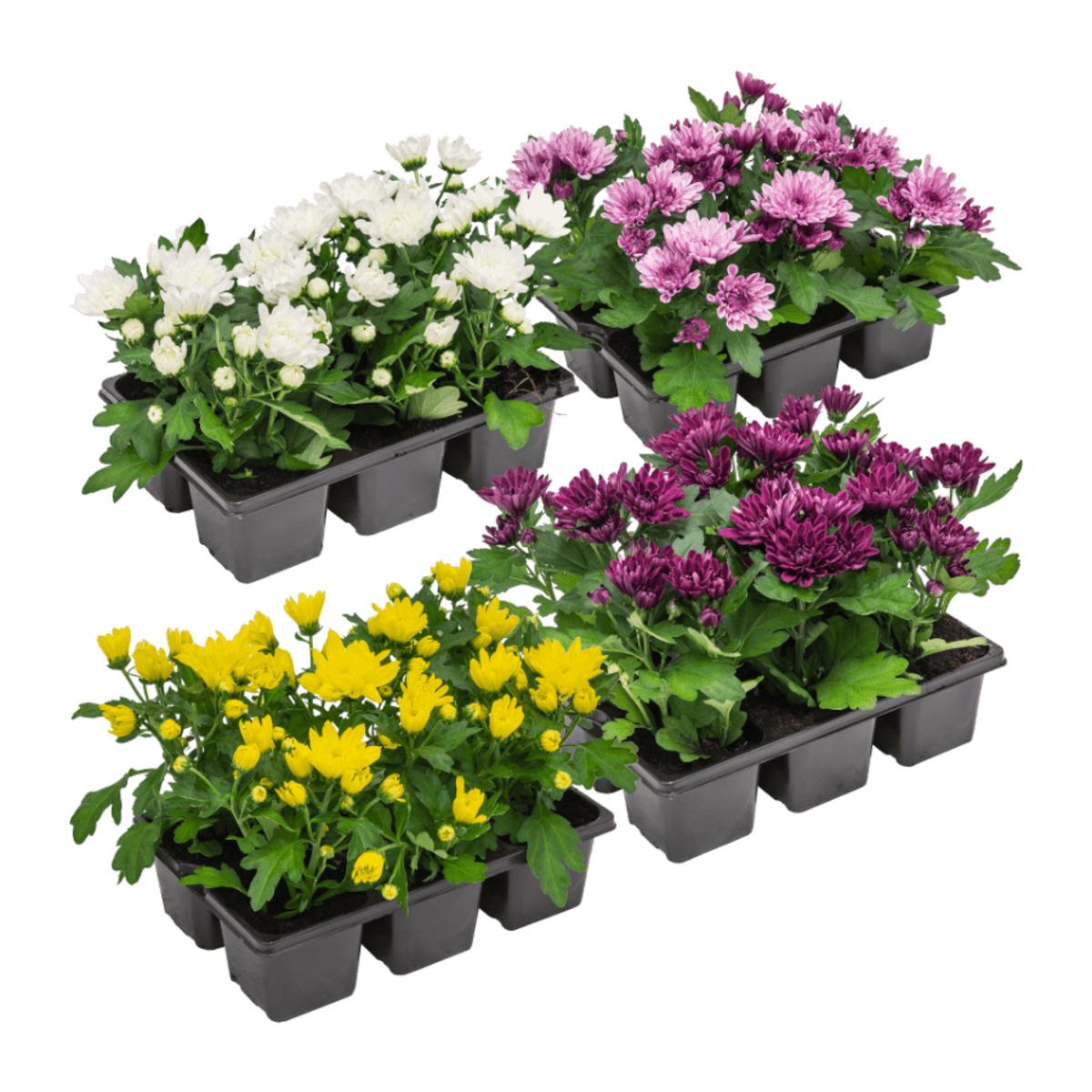 Bild 1 von GARDEN FEELINGS     Chrysanthemen