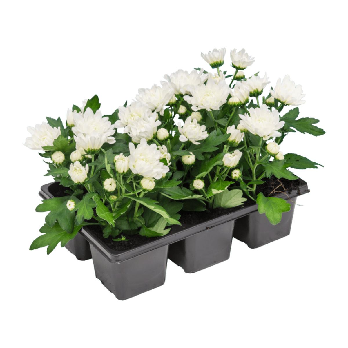 Bild 2 von GARDEN FEELINGS     Chrysanthemen