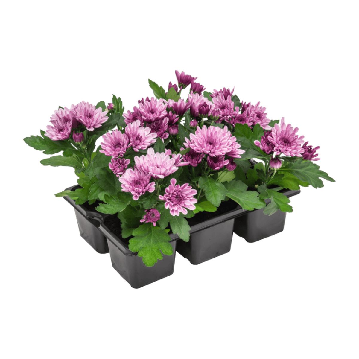 Bild 3 von GARDEN FEELINGS     Chrysanthemen