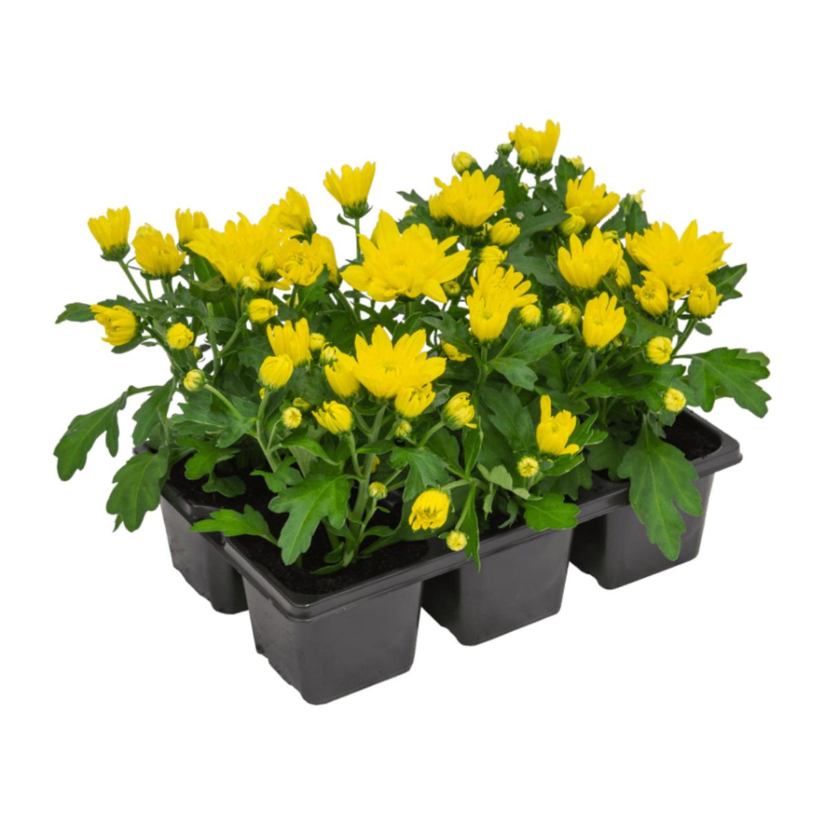 Bild 4 von GARDEN FEELINGS     Chrysanthemen