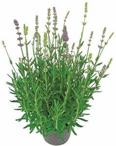 Lavendel zweifarbig