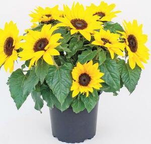 Sonnenblume, Portulaca oder Angelonia