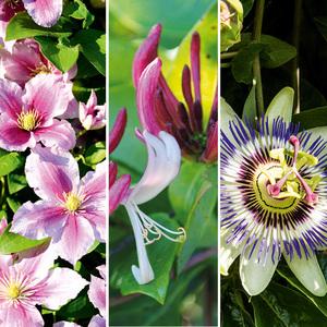 Bienenfreundliche Kletterpflanzen