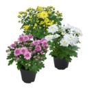 Bild 1 von GARDEN FEELINGS     Chrysantheme