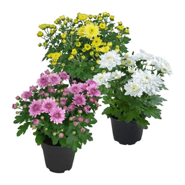 GARDEN FEELINGS     Chrysantheme