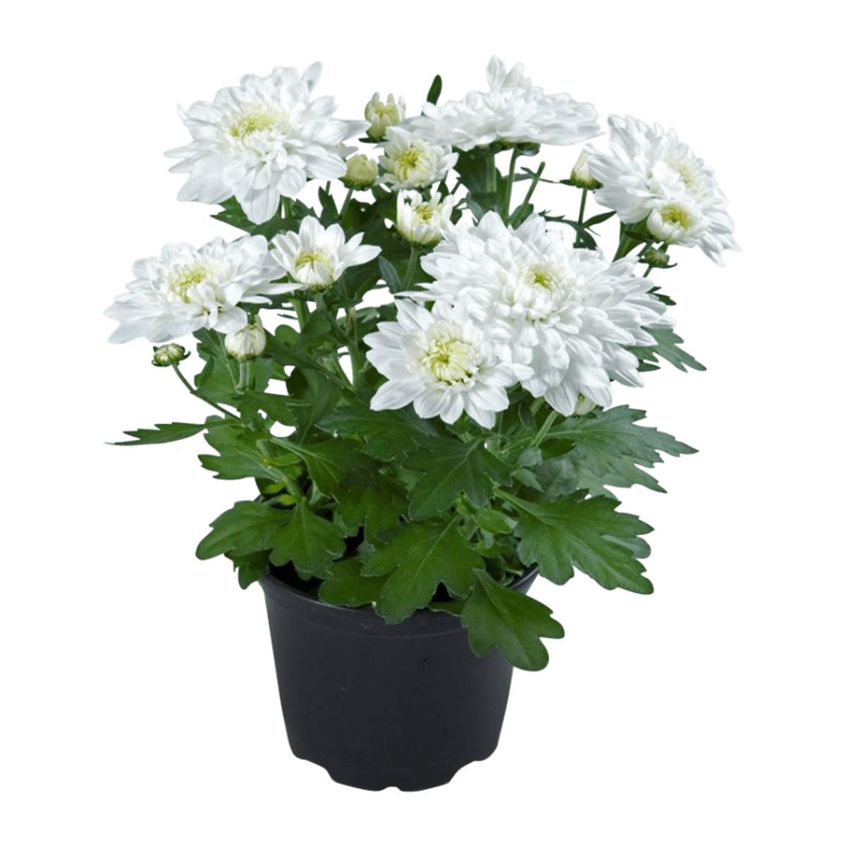 Bild 3 von GARDEN FEELINGS     Chrysantheme