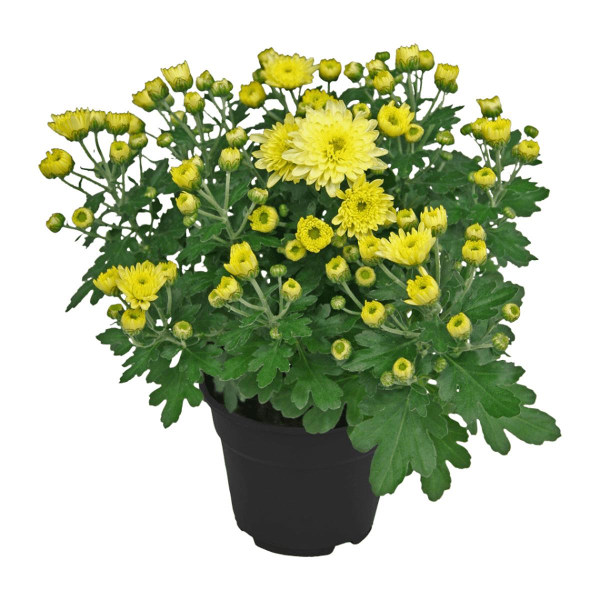 Bild 4 von GARDEN FEELINGS     Chrysantheme