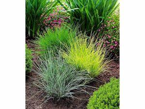 Gräser-Trio,3 Pflanzen