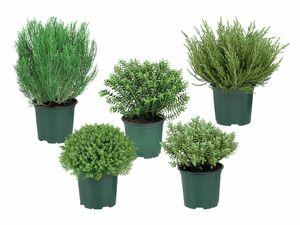 Hebepflanze
