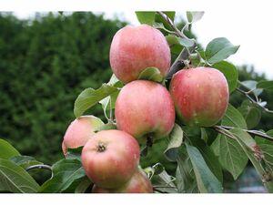 Apfel Gravensteiner, Buschbaum