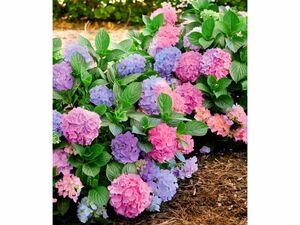 Freiland-Hortensie L.A. Dreamin®,1 Pflanze