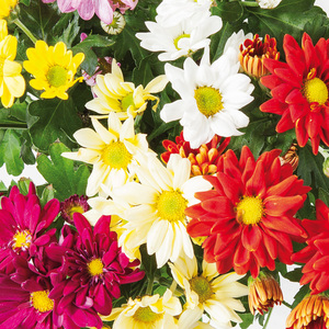 "Chrysantheme ""Sixtie®"""