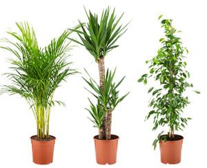 GARDENLINE®  Solitärpflanze