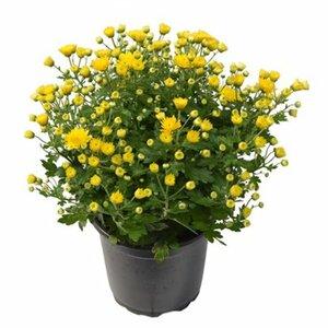 Herbst-Chrysantheme Topf-Ø ca. 14 cm Chrysanthemum