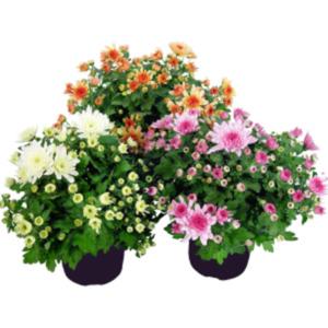 "Chrysanthemen ""Gardenmus"""