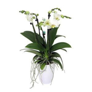 Schmetterlingsorchidee, 6 Rispen, weiß