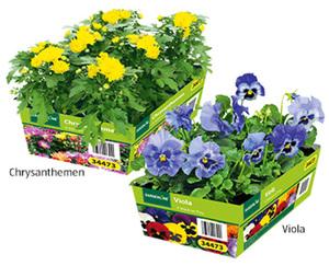 GARDENLINE®  Viola oder Chrysantheme