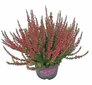 "Calluna ""Garden Girls"" oder ""Garden Kings"""