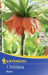 Kiepenkerl Blumenzwiebel Fritillaria ,  1 Blumenzwiebel