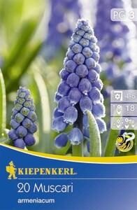 Kiepenkerl Blumenzwie. Muscari armeniacum ,  20 Pflanzen