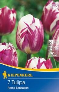 Kiepenkerl Blumenzwiebel Tulpe ,  7 Blumenzwiebeln