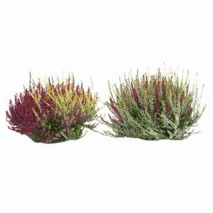 "Calluna ""Twin girls"""