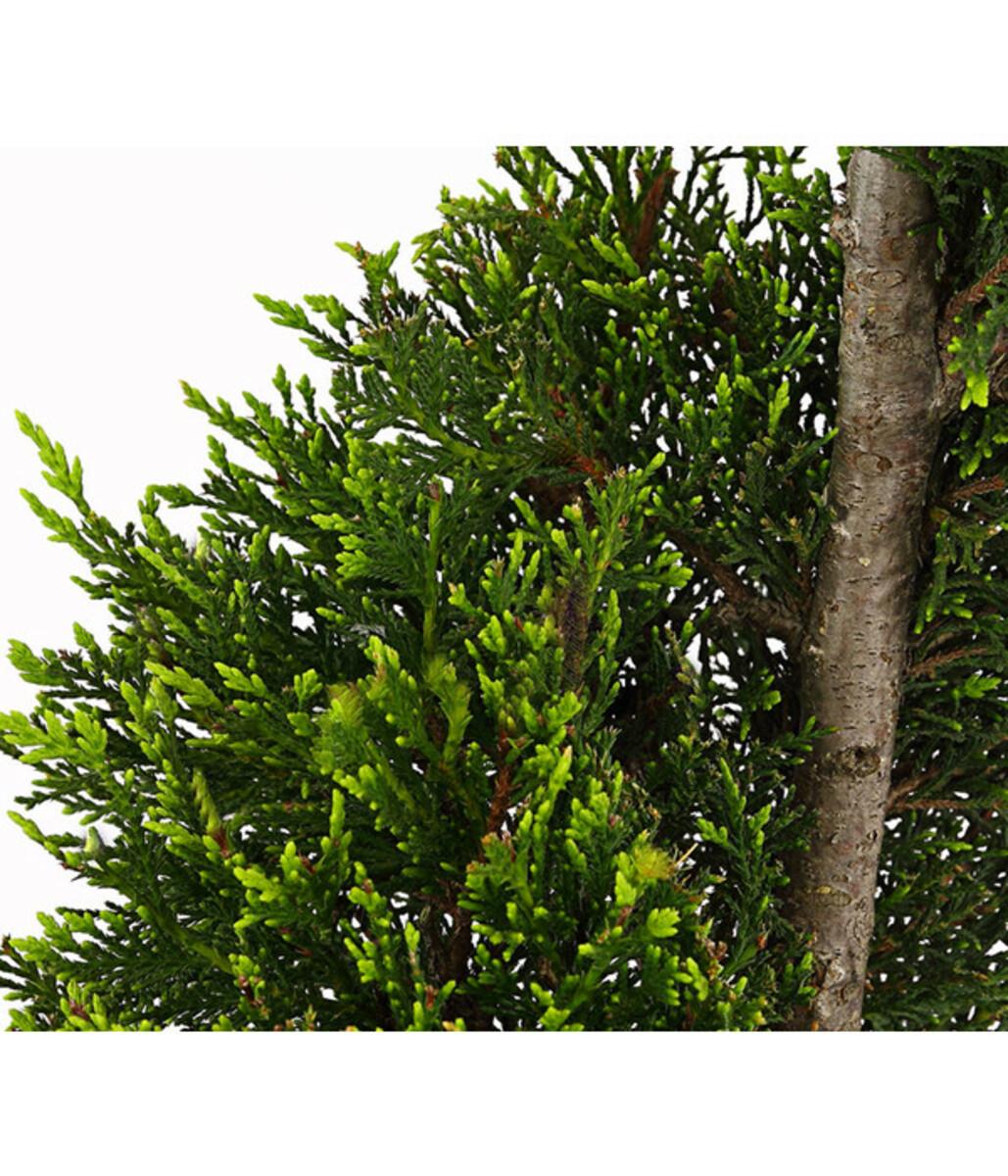 Bild 2 von Leyland-Zypresse, Grüne Baumzypresse 'Castlewellan Gold', Spirale