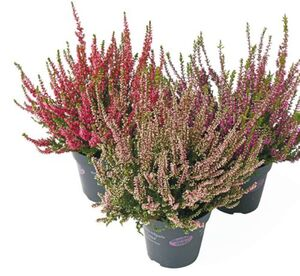 "Calluna ""Garden Girls"""