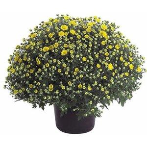 OBI Herbst-Chrysantheme Topf-Ø ca. 11 cm Chrysanthemum