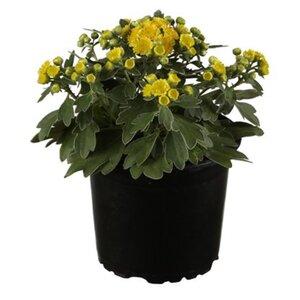 OBI Silberrand-Chrysantheme Gelb Topf-Ø ca. 12 cm Ajania